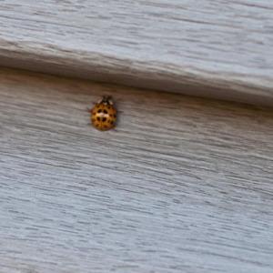 ladybugs-20