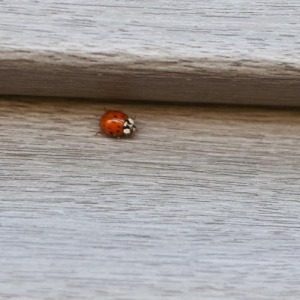 ladybugs-22