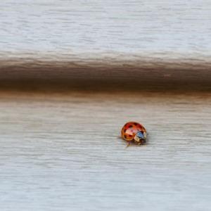 ladybugs-9